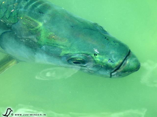 PIC: What Tarpon (aka Silver King) looks like up close