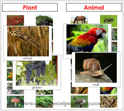 Plant or Animal Sorting Materials from Montessori Print Shop