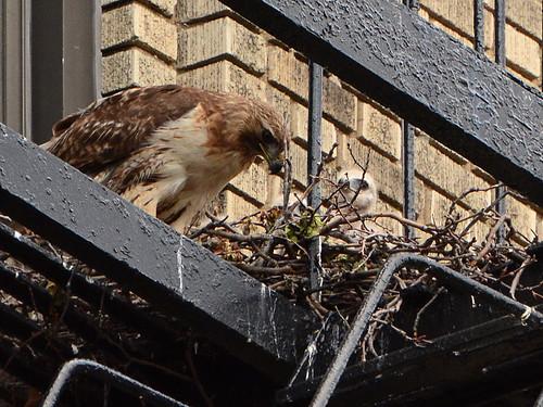 JHW Hawk Nest (9025)