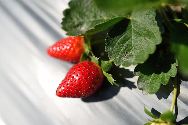 富野草莓園