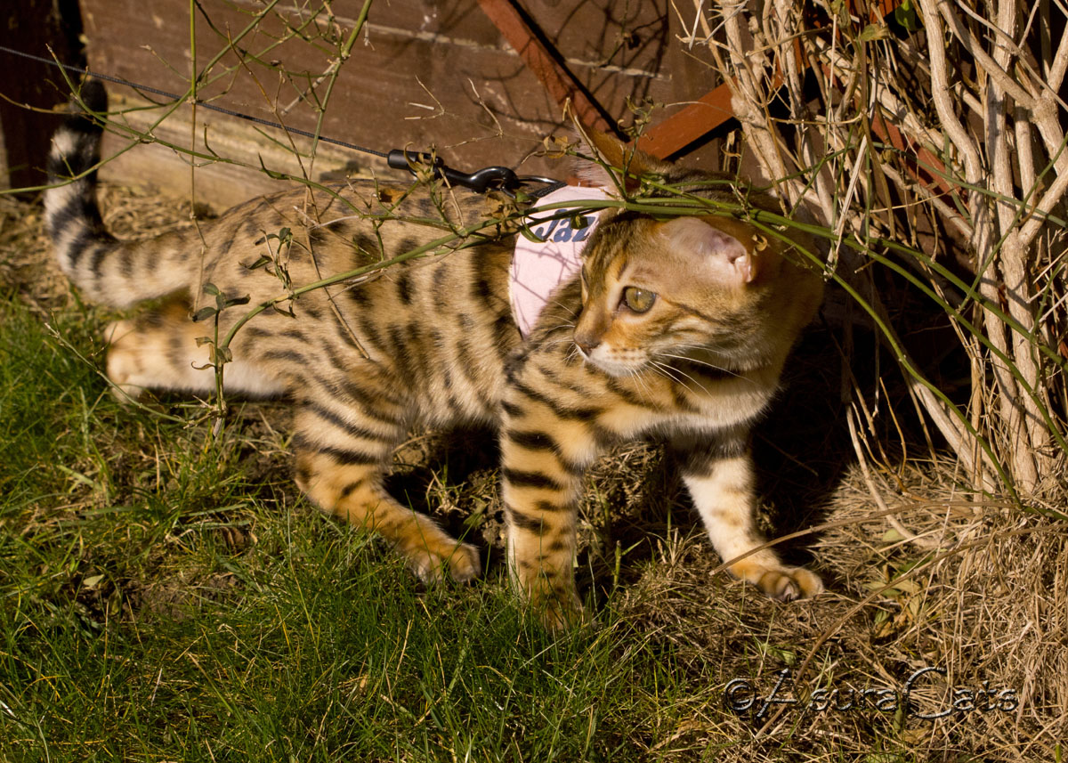 AsuraCats Aurora Beam - Brown rosetted Bengal in walking jacket