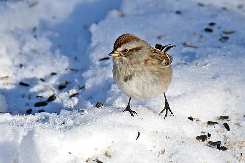 PA: American Tree Sparrow