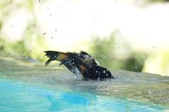 American Redstart enjoying the pool