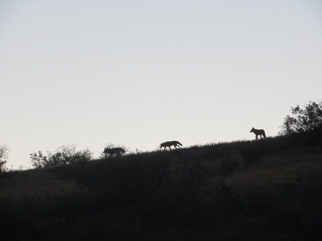 coyotes on the ridge