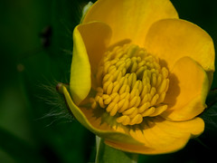 Inside a buttercup