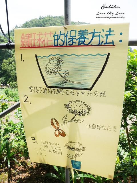 陽明山繡球花大梯田農場 (9)