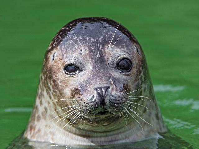 Nice seal portrait