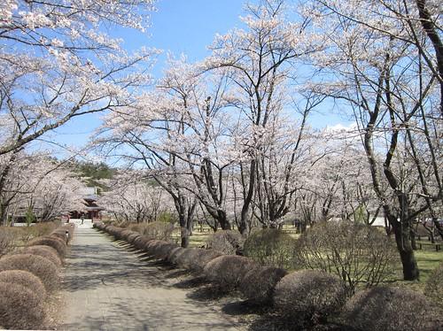 聖光寺参道の桜 2013年5月7日09:31 by Poran111