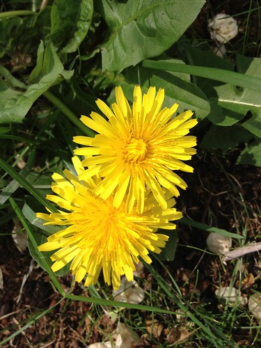 Dandelions by susanvg