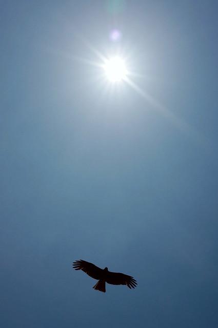 Black Kite 04