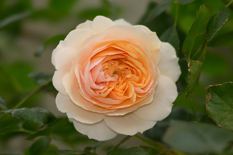 Garden of Roses ガーデン・オブ・ローゼズ