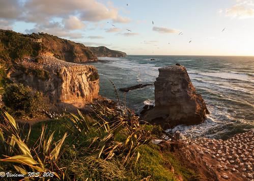 sunset newzealand bird goldenhour gannet waitakere muriwai goldenlight sidelight australiasiangannet