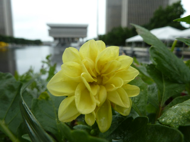Flowers at the Empire State Plaza Albany II
