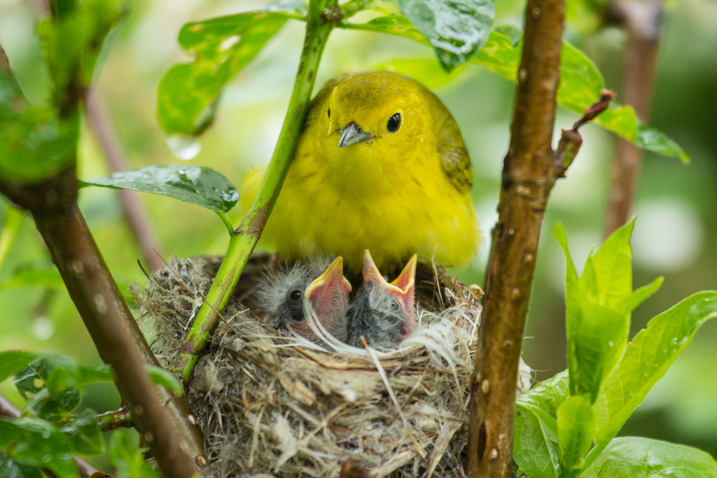 Yellow Warbler Feeding Young