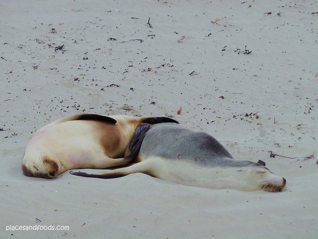 kangaroo island sleeping two seals