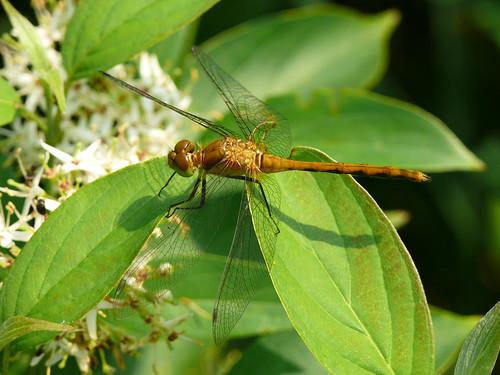 Meadowhawk Dragonfly (female)