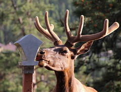 animal, antler, deer, horn, fauna, white-tailed deer, elk,