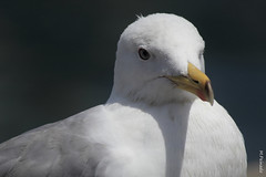albatross(0.0), wing(0.0), animal(1.0), white(1.0), fauna(1.0), close-up(1.0), european herring gull(1.0), beak(1.0), bird(1.0), seabird(1.0), wildlife(1.0),