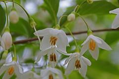 Styracaceae