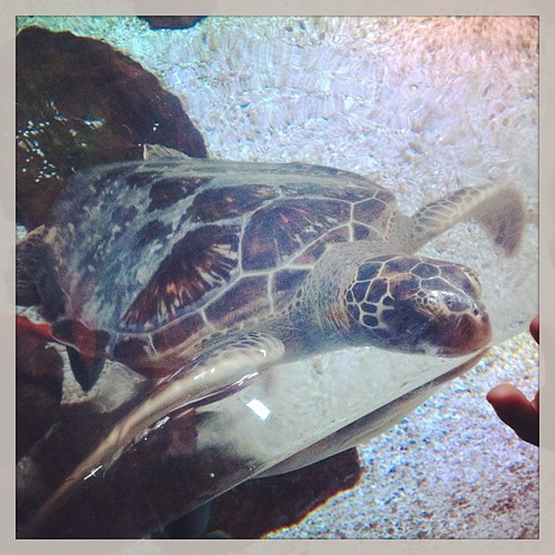 Sea turtle #sealifearizona