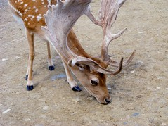 animal, antler, deer, horn, fauna, white-tailed deer, wildlife, reindeer,