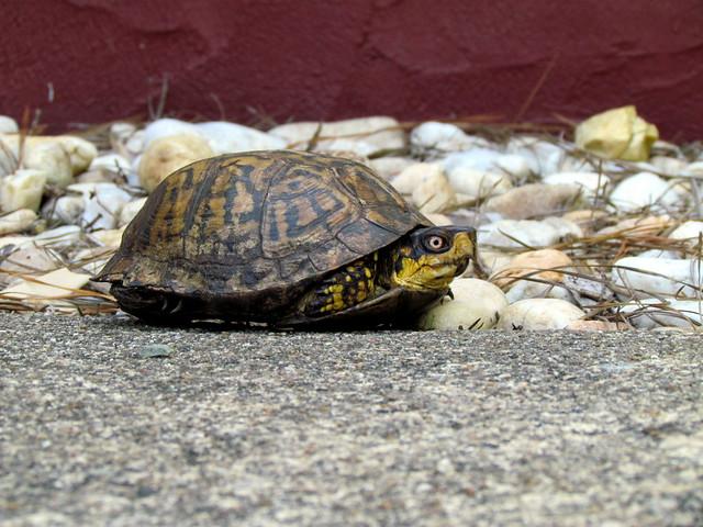 box turtle backyard estates cary nc 2397 flickr photo sharing