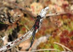 White-faced Darter - Leucorrhinia dubia