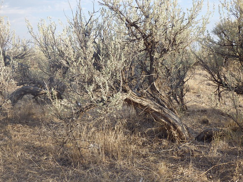 oregon habitat cheatgrass bromustectorum disturbedsite sagebrushsteppe wyomingbigsagebrush artemisiatridentatawyomingensis jordanvalleyburnsjunction
