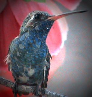 """""""Cynanthus latirostris"""" Juvenile Broad-billed Hummingbird : Male"""