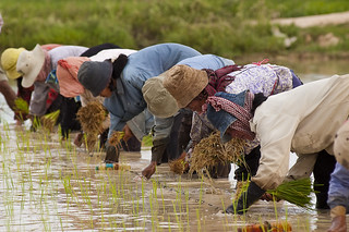 Cambodian farmers planting rice. 2004. Photo: Brad Collis