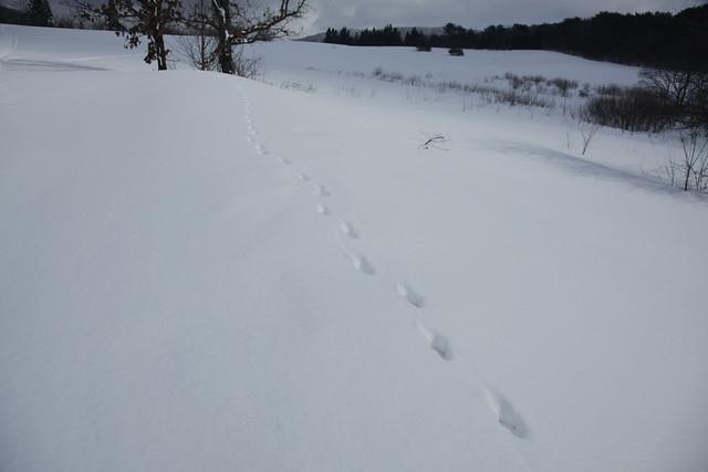 まっすぐ一直線についている足跡はキツネ.