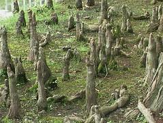 落羽松是可高度淨化水質的植物。(攝影:張文亮)