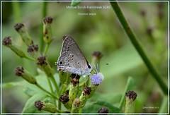 Mallow Scrub-Hairstreak Texas Butterfly photography by Ron Birrell, DSC_9240