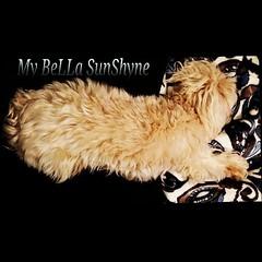 My lil BeLLa sleeping in her favorite spot #MyLap #malteselover #maltese #Maltipoo #igdog #ilovemydog #follow #icanimals #instadog #dogsofinstagram #dog_of_the_day #dogs #dog #petstagram #puppylove #poodle #love #cutedog #cutest_pet_of_the_week #cute #lha