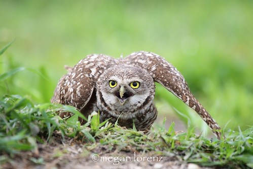 Ninja Owl by Megan Lorenz