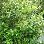 Backhousia Myrtifolia - Grey Myrtle