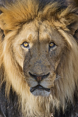 Portrait of a very nice lion