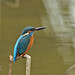 普通翠鸟 Common Kingfisher by gychen0715
