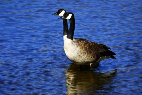 The legendary two-headed goose