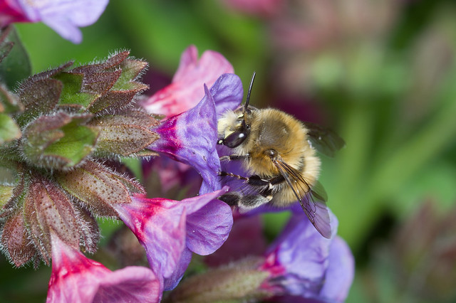 147: Hairy-footed Flower Bee (m)