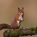 Yorkshire Red Squirrel by David Newby | IMAGES 2014