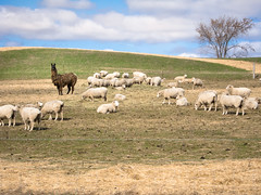 animal, prairie, steppe, field, grass, sheeps, sheep, plain, mammal, herd, grazing, fauna, herding, meadow, pasture, rural area, grassland, wildlife,