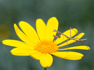 Preying mantis #27 Insect or spider