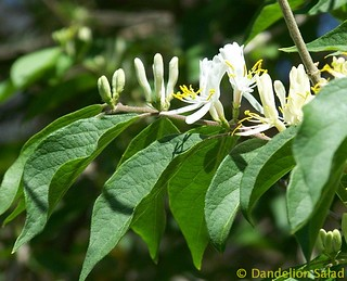 Honeysuckles Blossoms