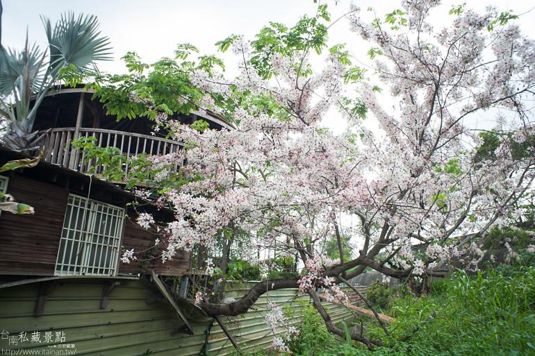 台南私藏景點--台1線花旗木 (8)