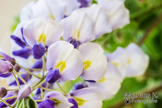 Blütentraube