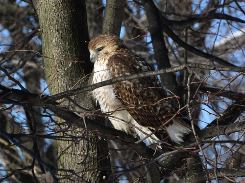 Riverside Red-Tail - 5175