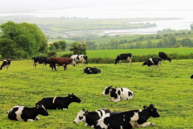 irish cows 2