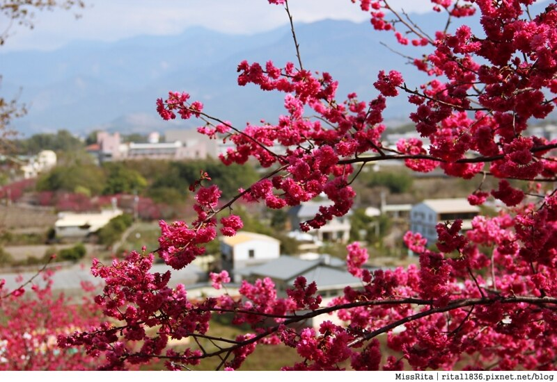 2015台中賞櫻 新社 大南坡 櫻花秘境 129縣道 櫻木花道52
