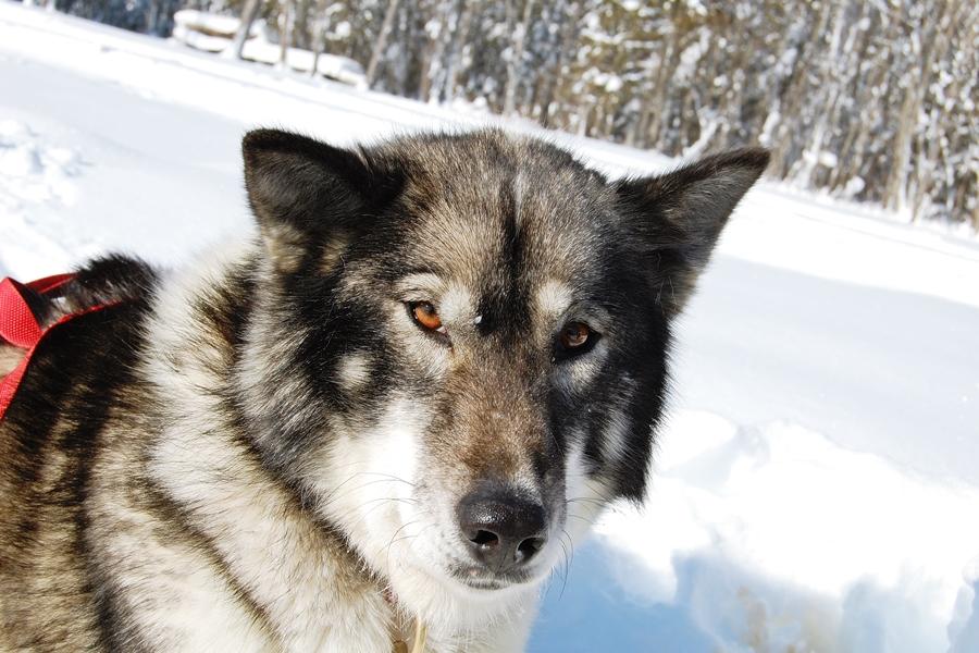 Balade chiens de traineau chiens de traineau (11)